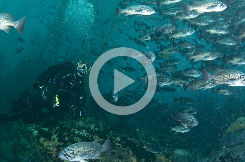 Click for video: Help Save Kelp