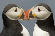A pair of Atlantic Puffins