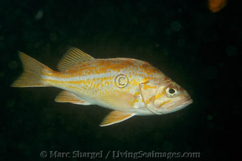 A Canary Rockfish in Point Lobos State Marine Reserve, five years after the reserve was vastly expanded.