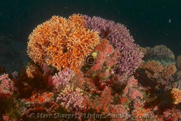 Lush Hydrocoral grows in a spectrum of subtle pastel colors on the deep seafloor at Schmieder Bank.