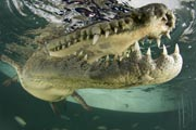 Making friends with Ni�o, a 7-foot American Crocodile.